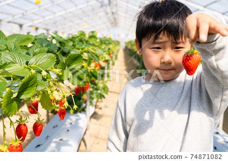 草莓採摘男孩小學生 74871082