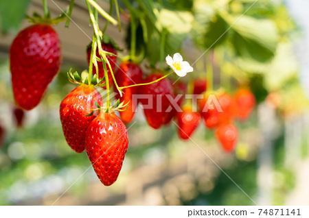 草莓採摘 74871141