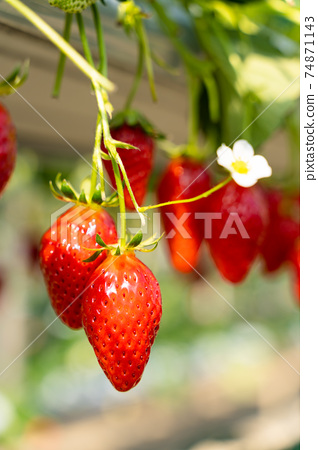 草莓採摘 74871143