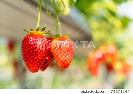 草莓採摘 74871144