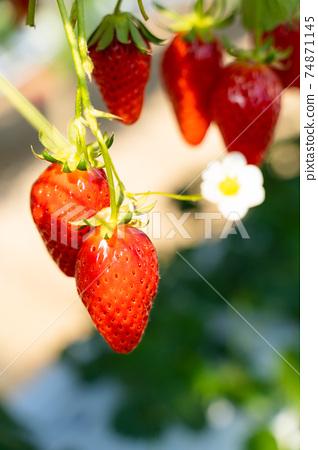 草莓採摘 74871145