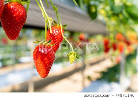 草莓採摘 74871146
