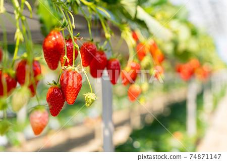 草莓採摘 74871147