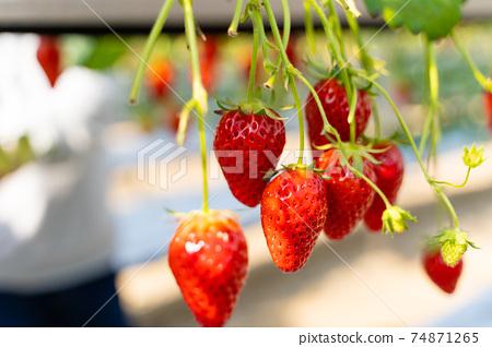 草莓採摘 74871265