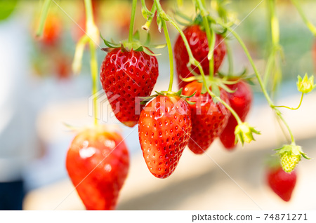 草莓採摘 74871271