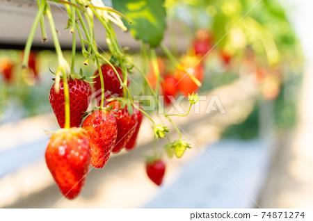 草莓採摘 74871274