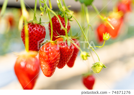 草莓採摘 74871276