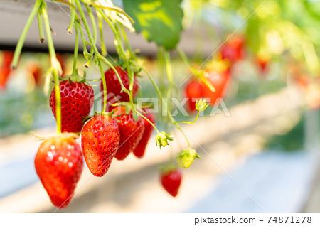 草莓採摘 74871278