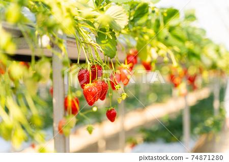草莓採摘 74871280