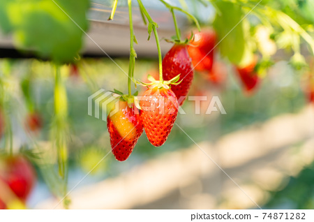 草莓採摘 74871282