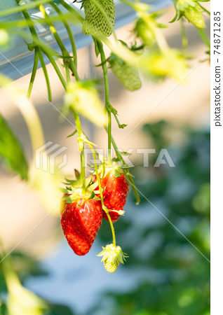 草莓採摘 74871285