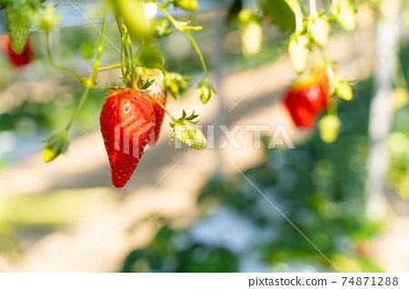 草莓採摘 74871288