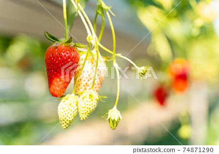 草莓採摘 74871290