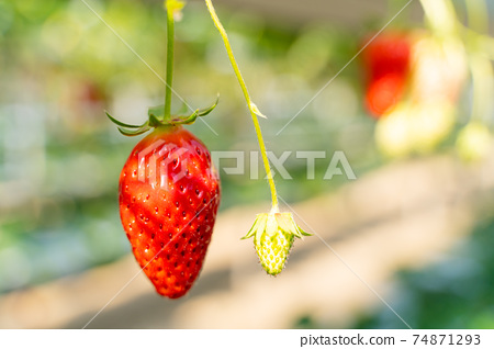草莓採摘 74871293