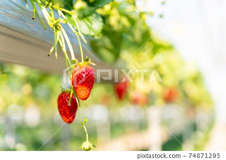草莓採摘 74871295