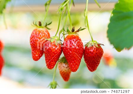 草莓採摘 74871297