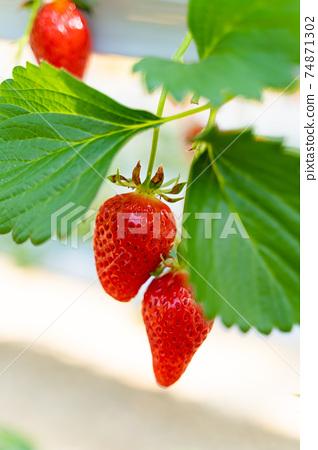 草莓採摘 74871302