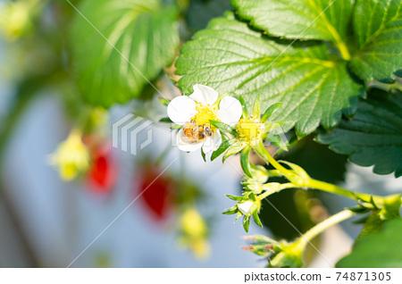 草莓採摘 74871305