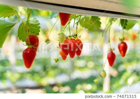 草莓採摘 74871315