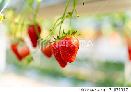 草莓採摘 74871317