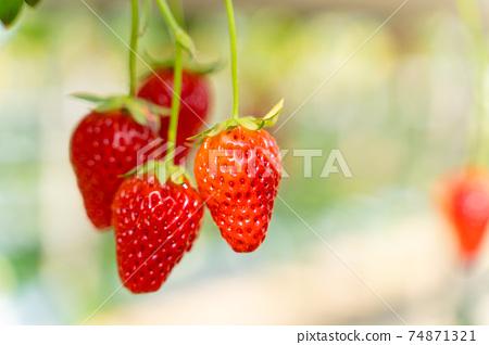 草莓採摘 74871321