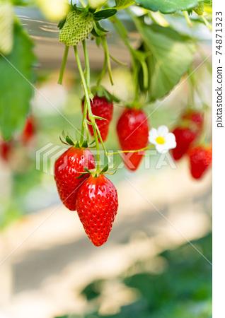 草莓採摘 74871323