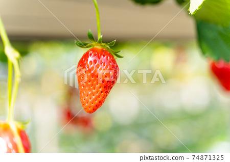 草莓採摘 74871325