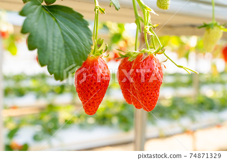 草莓採摘 74871329