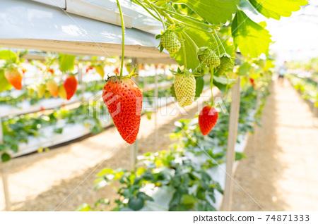 草莓採摘 74871333