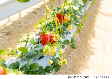 草莓採摘 74871334