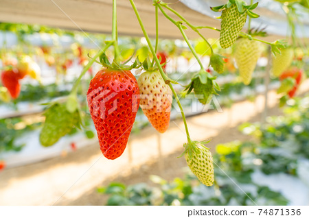 草莓採摘 74871336