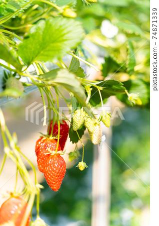 草莓採摘 74871339