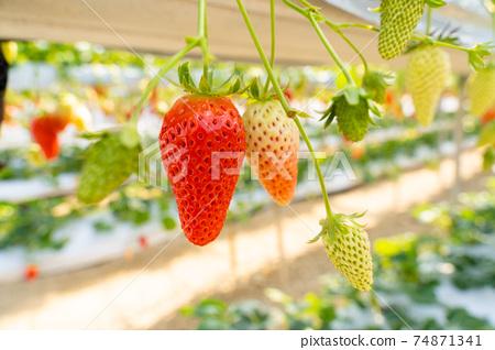 草莓採摘 74871341