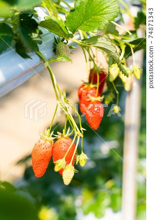 草莓採摘 74871343