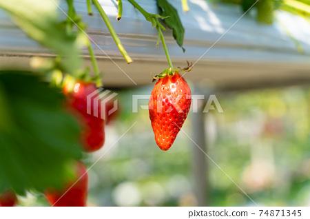 草莓採摘 74871345