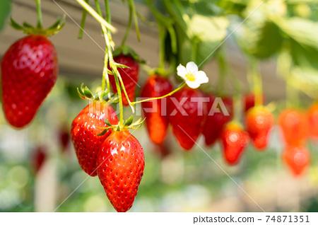 草莓採摘 74871351