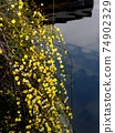 Enokuchi河兩岸的冬茉莉花盛開 74902329