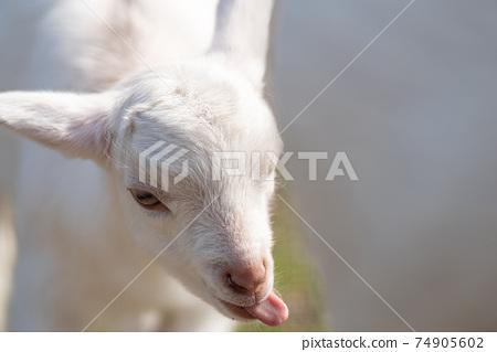 小山羊伸出舌頭 74905602