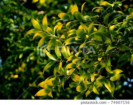Nagi leaves in early spring 74907156
