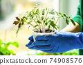 Woman holds tomato seedlings in her hands 74908576
