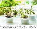 Tomato seedlings 74908577