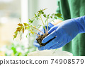 Woman holds tomato seedlings in her hands 74908579