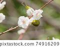 Whitetail sucking honey of white plum blossoms 74916209