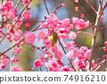 White-eye sucking the nectar of red plum flowers 74916210