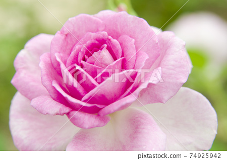 Pink and white roses are in bloom in the rose garden. The name of this rose is Cotillion. 74925942
