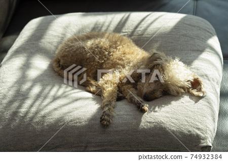 在夏天中睡覺的小狗 74932384