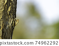 Cicada stains on trees in the forest 74962292
