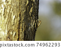 Cicada stains on trees in the forest 74962293