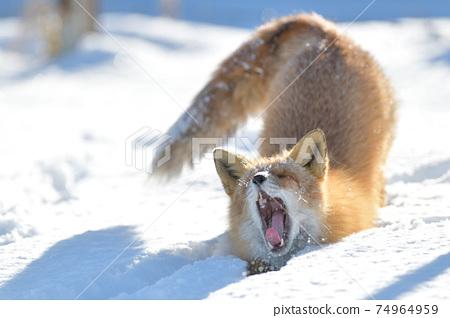 在多雪的領域的北狐狸 74964959