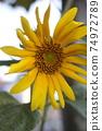 向日葵盛開黃色 74972789